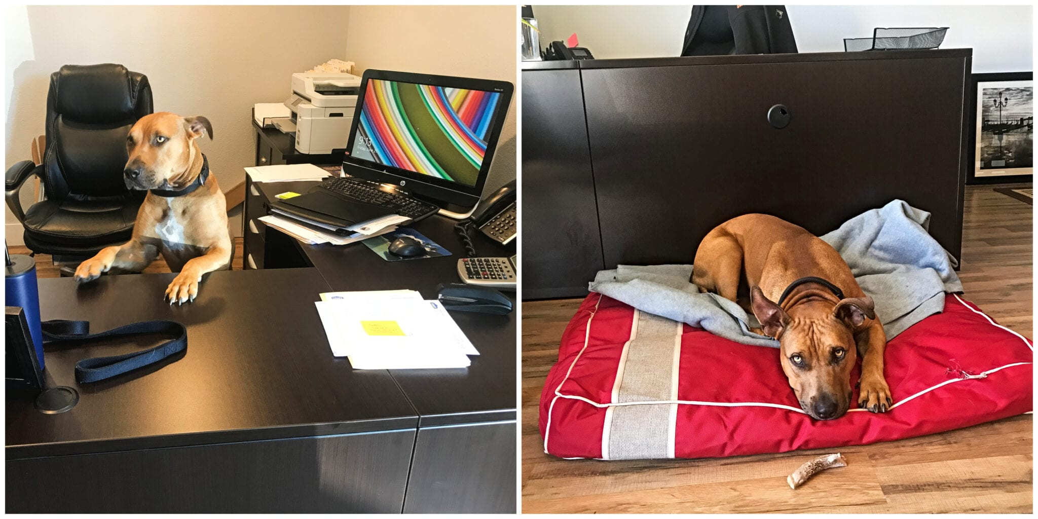 Dog sitting at desk at WNC Roofing and dog laying in bed with a bone